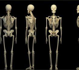 Анатомия человека: строение скелета