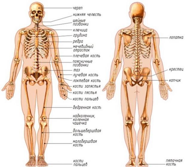 анатомия человека скачать программу - фото 11