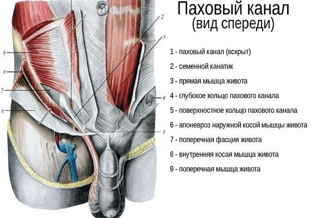 строение пахового канала у мужчин и женщин топографическая анатомия